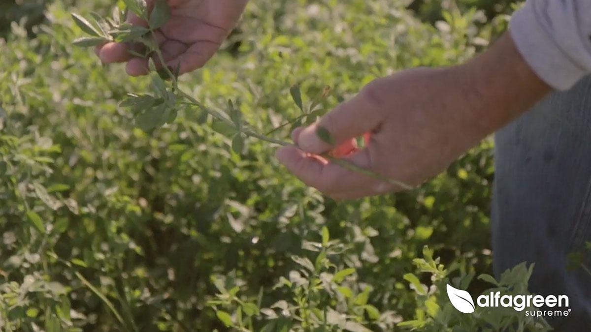 Alfagreen Growers video